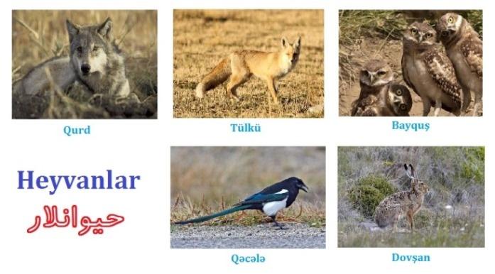 حیوانلار: قورد - تولکو - بایقوش - قجله - دووشان